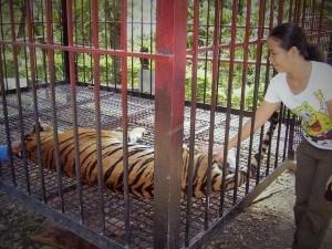ob_a8fd2b_tiger1-2